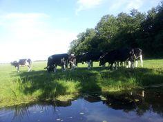 koeien achter de Brugstraat