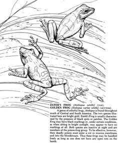 reptiles and amphibians coloring book dover publications golden froganimal