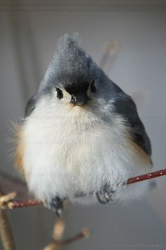 Puffiness 0688 by Sooper-Deviant //  Tufted Titmouse