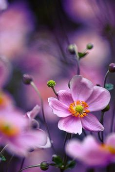 Gardening Autumn - Autumn flower - With the arrival of rains and falling temperatures autumn is a perfect opportunity to make new plantations Fall Flowers, Pretty Flowers, Purple Flowers, Exotic Flowers, Summer Flowers, Yellow Roses, Pink Roses, Anemone Du Japon, Colorful Roses