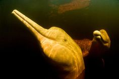 Amazon River Dolphin: The Synchronized Swimmer