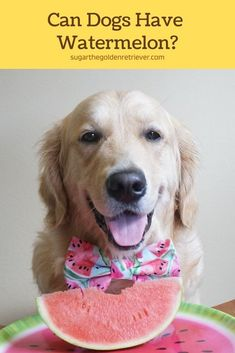 In moderation, dogs can have watermelon. It is not recommended for dogs to chew the rind. A fun way to treat your dog is to make watermelon pops. #candogseat #watermelonfordogs #dogseat #fruitsfordogs #goldenretrievers #dogowners Watermelon Facts, Can Dogs Eat Watermelon, Watermelon Rind, Fruits For Dogs, Dog Seat, Beta Carotene, Homemade Dog Treats, Dog Eating, Summer Fruit