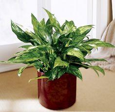 A Aglaonema é uma das melhores plantas para ambientes que não têm tanta luz. possui cerca de 50 variações com características diferentes, e é muito cultivada dentro das casas.