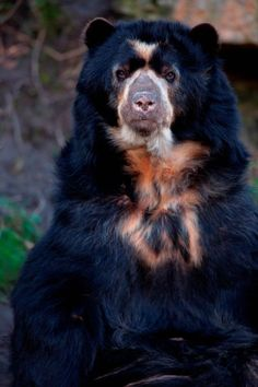 """Spectacled bear: """"Looking at a spectacled bear, you don't need too much imagination to see that its closest living relative is the giant panda. And after the panda, it is the most endangered bear."""" 100 Animals To See Before They Die www.bradtguides.com"""
