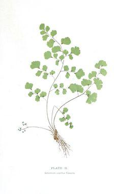 Botanical - Leaf - Fern, British Fern   (4)
