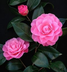 Betty Ridley Camellia Japonica