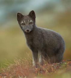 Arctic Fox                         by René Visser