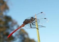 The damselflies and dragonflies of Australia - Australian Geographic York Peninsula, Small Insects, Damselflies, Tasmania, Dragonflies, Western Australia, Southeast Asia, Fresh Water, Wildlife