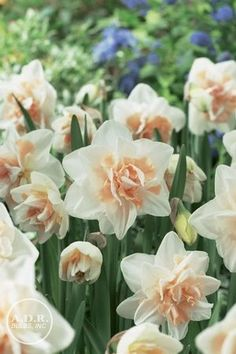 Narcissi double 'Delnashaugh' Daffodil. Height  16-22 inches. Spread: 4-6 inches. Early Bloom. 50 bulbs for $16.50.