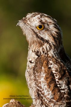 "500px / Photo ""Northern Potoo"" by Juan Carlos Vindas"