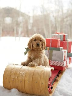 Adorable golden retriever Puppy on a Sleigh with Christmas Presents Cute Puppies, Cute Dogs, Dogs And Puppies, Doggies, Chihuahua Dogs, Christmas Puppy, Christmas Animals, Merry Christmas, Dog Christmas Presents