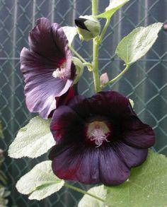 Stokrozen zaaien - planten stokrozen - wanneer stokrozen zaaien en hoe - soorten en kleuren bij de stokroos
