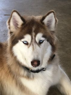 My sweet fun loving huskey, Miska! Cute Dogs And Puppies, I Love Dogs, Malamute Husky, Marvel Paintings, Cute Husky, Wolfdog, Siberian Huskies, Fun Loving, Four Legged