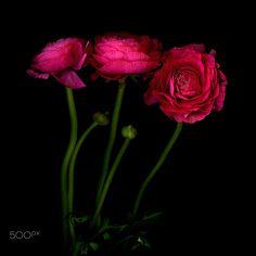 TROIS BELLES…. Ranunculus by Magda Indigo on 500px