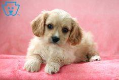 Bear | Cavachon Puppy For Sale | Keystone Puppies Cavachon Puppies, Design Development, Puppies For Sale, Bunnies, Bedroom Ideas, Super Cute, Bear, Dogs, Animals
