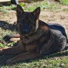 AKC German Shepherd Female in Tennessee Lots of Training Delivery VA, PA, NY, NJ, MD, GA, FL 7