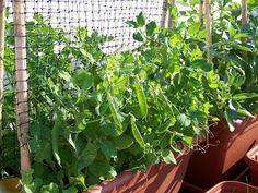 Cultivo de guisantes