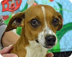 *** GREAT NEWS! *** I'VE BEEN ADOPTED!!!  Searcy, AR - Chihuahua/Terrier (Unknown Type, Small) Mix. Meet Andrea, a dog for adoption. http://www.adoptapet.com/pet/12295826-searcy-arkansas-chihuahua-mix