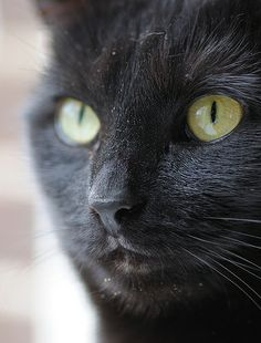 Black cat  Bommel