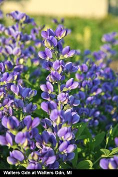 Baptisia Blueberry Sunday also known as Blueberry Sundae Redneck Lupine. love this. must find.