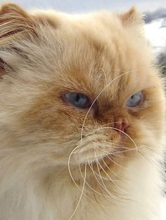 Gracefully draped atop a sofa or curled in your favorite chair, the presence of a Himalayan Persian cat enhances any decor, much like a work of art. Bred in an array of colors, this masterpiece of a feline is not only beautiful, but also has a wonderfully sweet disposition.