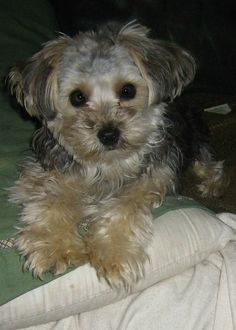poo picture yorkie Adult