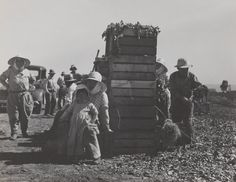 image of 'Japanese Agricultural Workers Packing Broccoli Near Guadalupe, CA'
