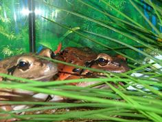 Mountain Chicken Frogs at the Akron Zoo