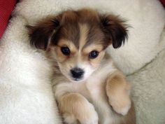 Yorkie Chihuahua Pomeranian Shih'tzu Puppy. At what point is it just called a MUT?
