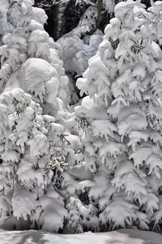 Laden with Snow