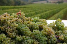 Sauvignon blanc rypäle Sancerre. Hyvää viiniä tulossa. Satoa 2013.