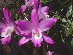 Laelia autumnalis subsp. atrorubens