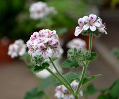 Castles Gardener -  Australian geranium - Pelargonium australe
