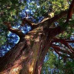 Время монгольского нашествия и крестовых походов в Японии - первой сёгунской династии а где-то на горной тропе в Кумано растут молодые криптомерии. Сегодня им за 800. Приезжайте прикоснуться к живой истории - древним деревьям Японии. #мидокоро #Япония #деревья #лес #лесотерапия #история #Вакаяма