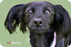 Ebony - Papillon/Spaniel mix - 3 yrs old - Molly's Mutts & Meows - West Hollywood, CA. http://www.adoptapet.com/pet/5219348-west-hollywood-california-papillon-mix http://www.mollysmuttsandmeows.org