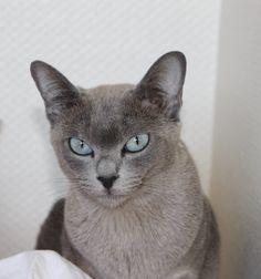 Jaya-Jyoti du Bois de Gury, blue solid tonkinese, 21 months old