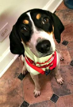 THE DAVINCI FOUNDATION FOR ANIMALS RESCUE ACROSS THE NATION Rescue Info: WASH.DC Ginny • Treeing Walker Coonhound • Young • Female • Medium • City Dogs Rescue • Washington, DC