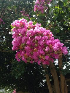 Crepe myrtle lagerstroemia indica this appears to be a crepe crepe myrtle lagerstroemia indica this appears to be a crepe myrtle lagerstroemia indica from china korea japan and india it is a deciduous mightylinksfo