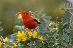 https://flic.kr/p/xkHmrW   'I'iwi   Hawaii U.S. Statehood — Today in 1959, Hawaii became the 50th State in the U.S. Here we see the 'I'iwi, also known as the scarlet Hawaiian honeycreeper, one of the many birds that are native to Hawaii...