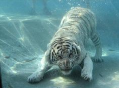 White tiger swimming .............. Amazing Pictures
