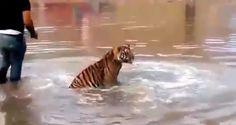 <p>Chihuahua, Chih.- Ante el video viral que circula en redes sociales donde un tigre se suelta del dueño e intenta correr desatando el pánico