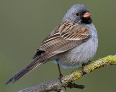 Black-chinned Sparrow | Black-chinned Sparrow: Sweet whistled notes accelerating into a buzzy ...
