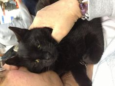 Meet Thelma, a Petfinder adoptable Domestic Short Hair-black Cat | Old Bridge, NJ | Thelma loves to give hugs and kisses and has become very trusting of her foster family.  She loves...