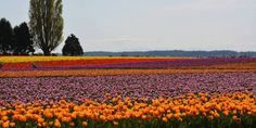 You have to add a trip to the tulip farms of the Pacific Northwest to your bucket list. #travel #roadtrips #roadtrippers