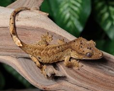 Tiger Dalmatian Crested Gecko for sale