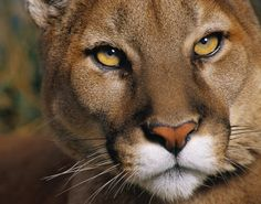 Nothing more beautiful than this face.. American Cougar!