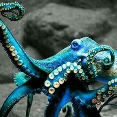 """Just read """"Soul of an Octopus"""" and enjoyed learning something abo… Blue Octopus. Just read """"Soul of an Octopus"""" and enjoyed learning something about these intelligent, remarkable creatures. Underwater Creatures, Underwater Life, Ocean Creatures, Underwater Animals, Beautiful Creatures, Animals Beautiful, Cute Animals, Animals Sea, He's Beautiful"""