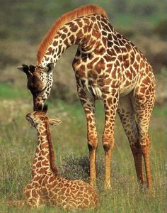 amour maternelle maman girafe
