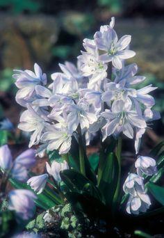 5 Blue Spring Bulbs: Early Squill l Organic Gardening