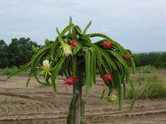 Dragon Fruit Cactus; Found in South America as well as the nearby ABC Islands of the Dutch Caribbean.